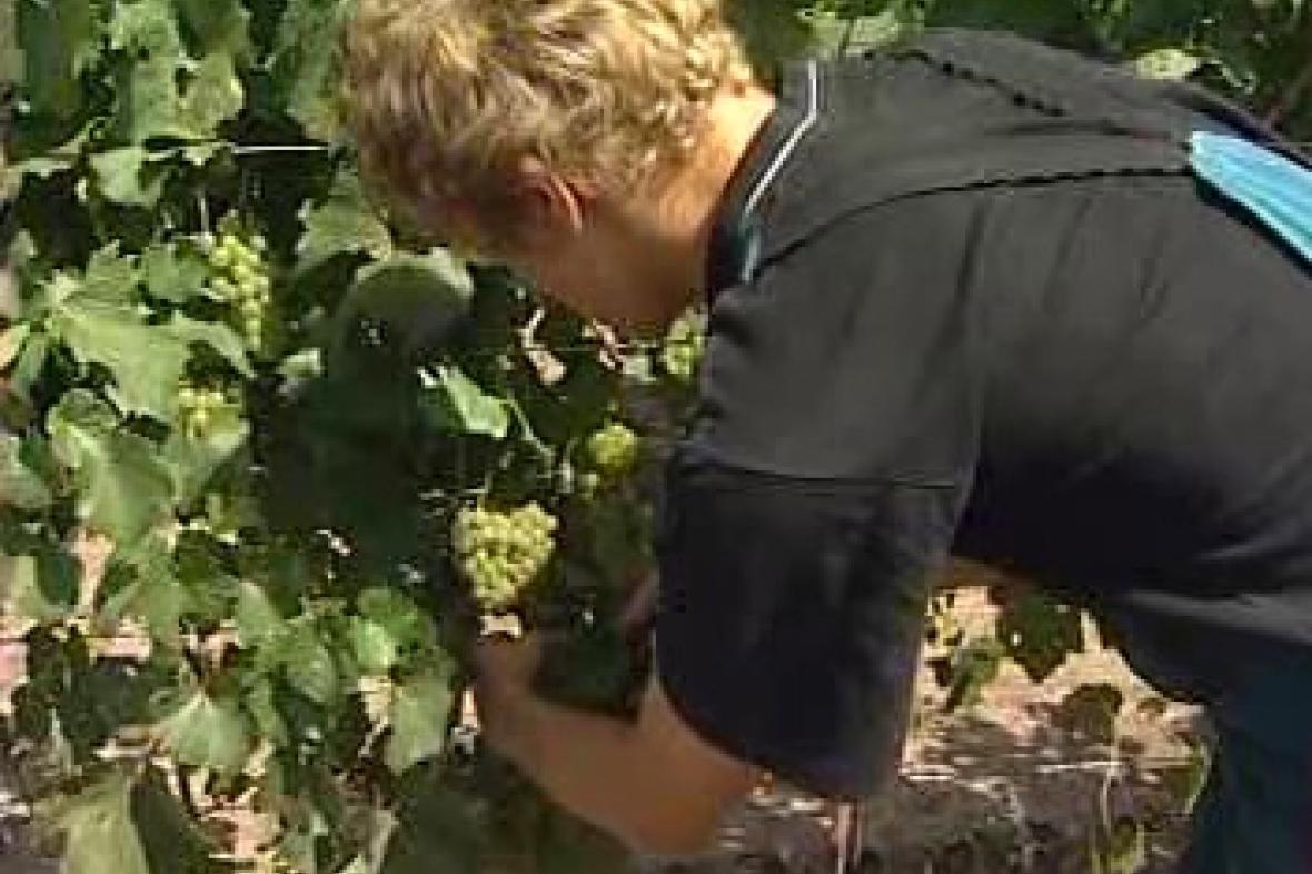 Sklizeň vína