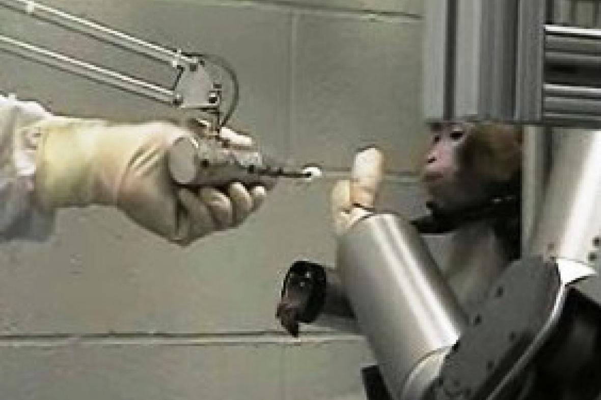 Opice dokázala ovládat umělou končetinu myšlenkami.
