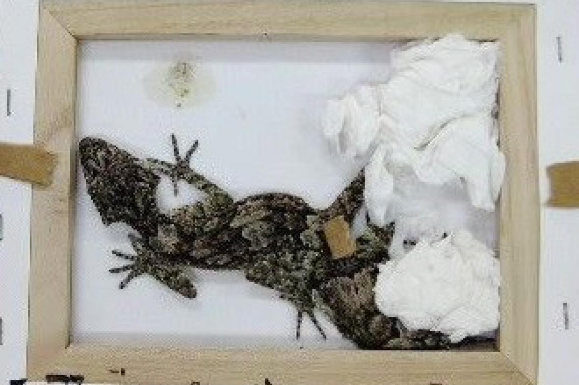 Zabavený gekon listoocasý