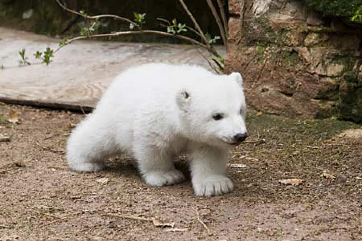 Lední medvědice Vločka