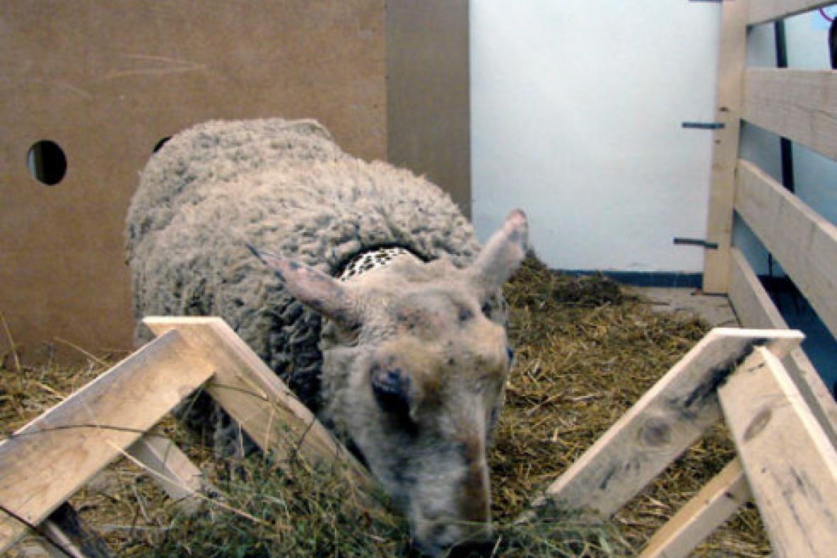 Živá ovce