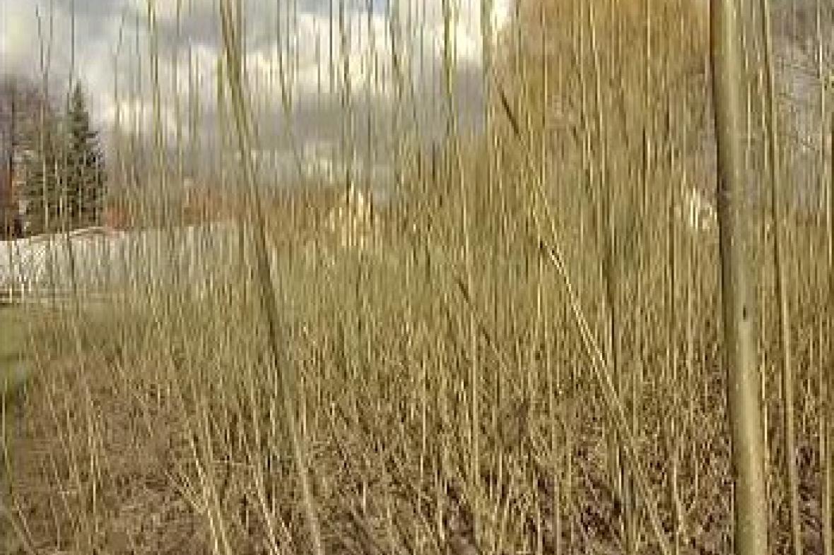 Japonský topol