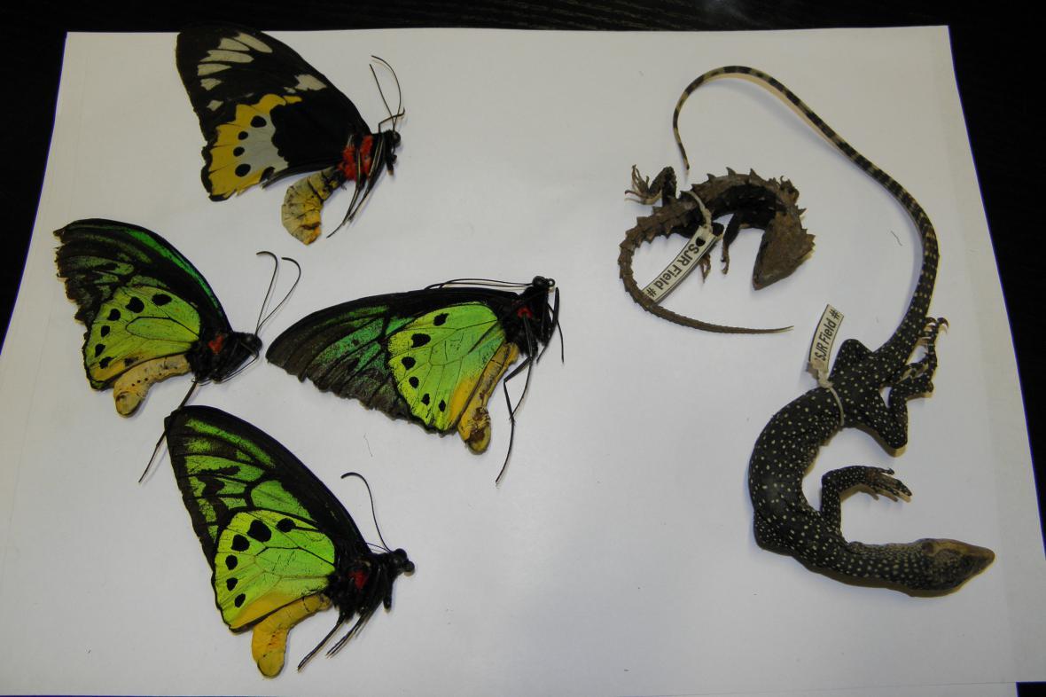 Ještěrky a motýli - chráněné druhy cílem pašeráků