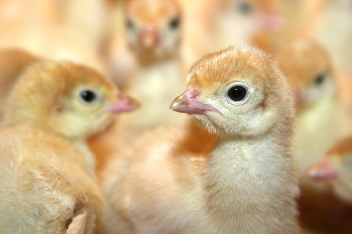 Kuřata žijí ve velkochovu pouze pět týdnů