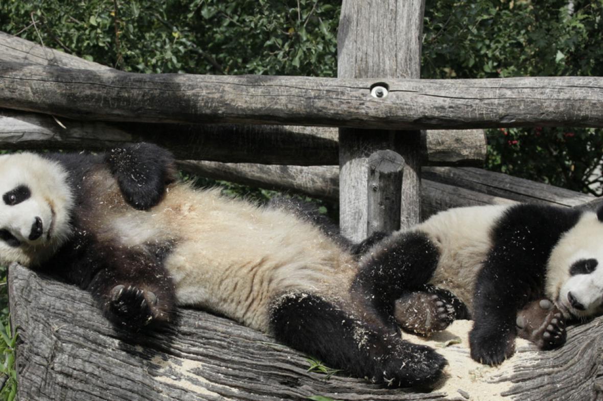 Vídeňské pandy