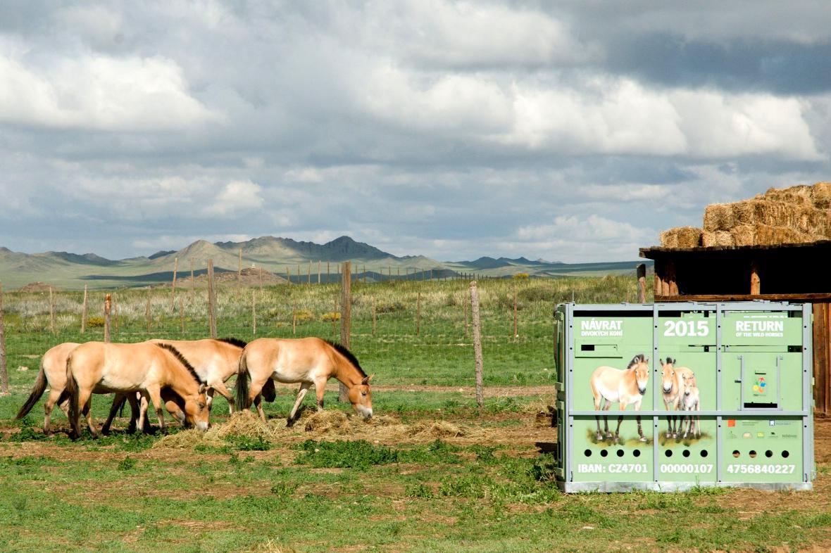 Koně Převalského v Mongolsku