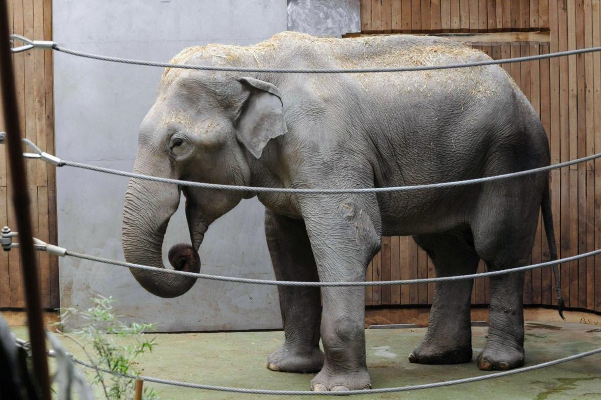 Samec slona indického Calvin