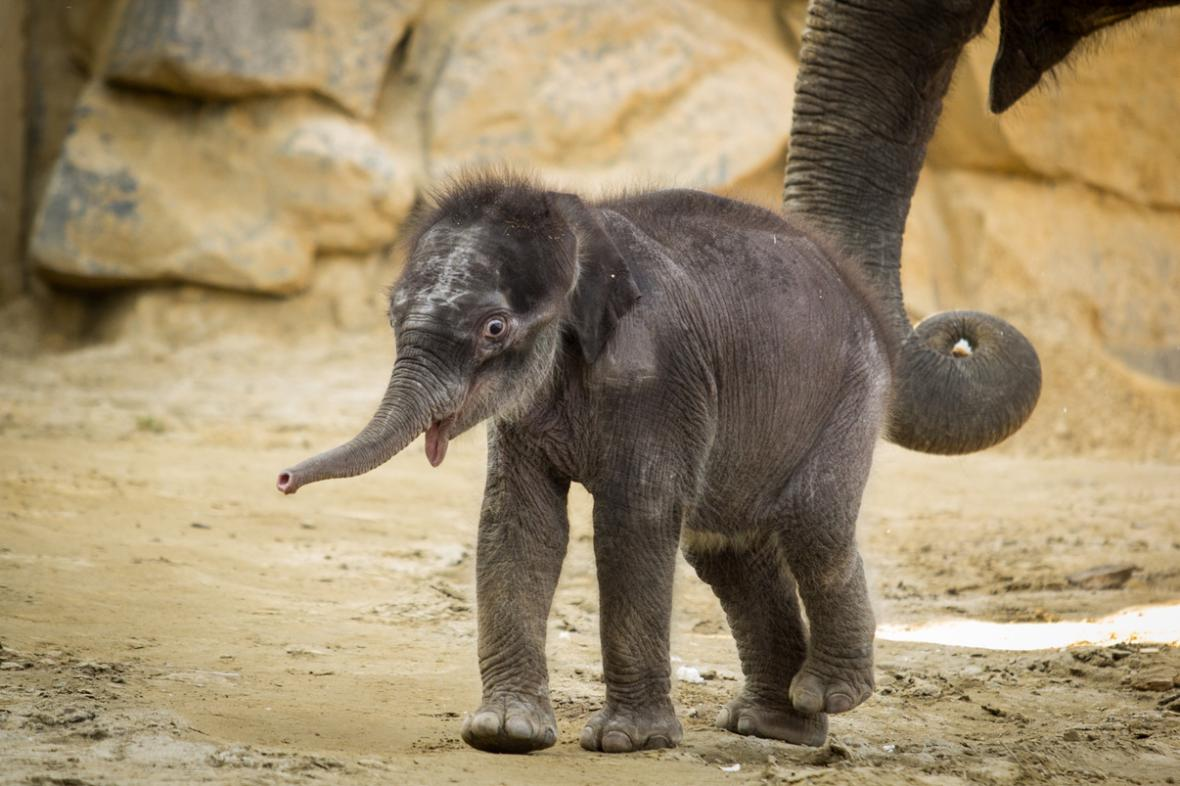 Samička slona indického