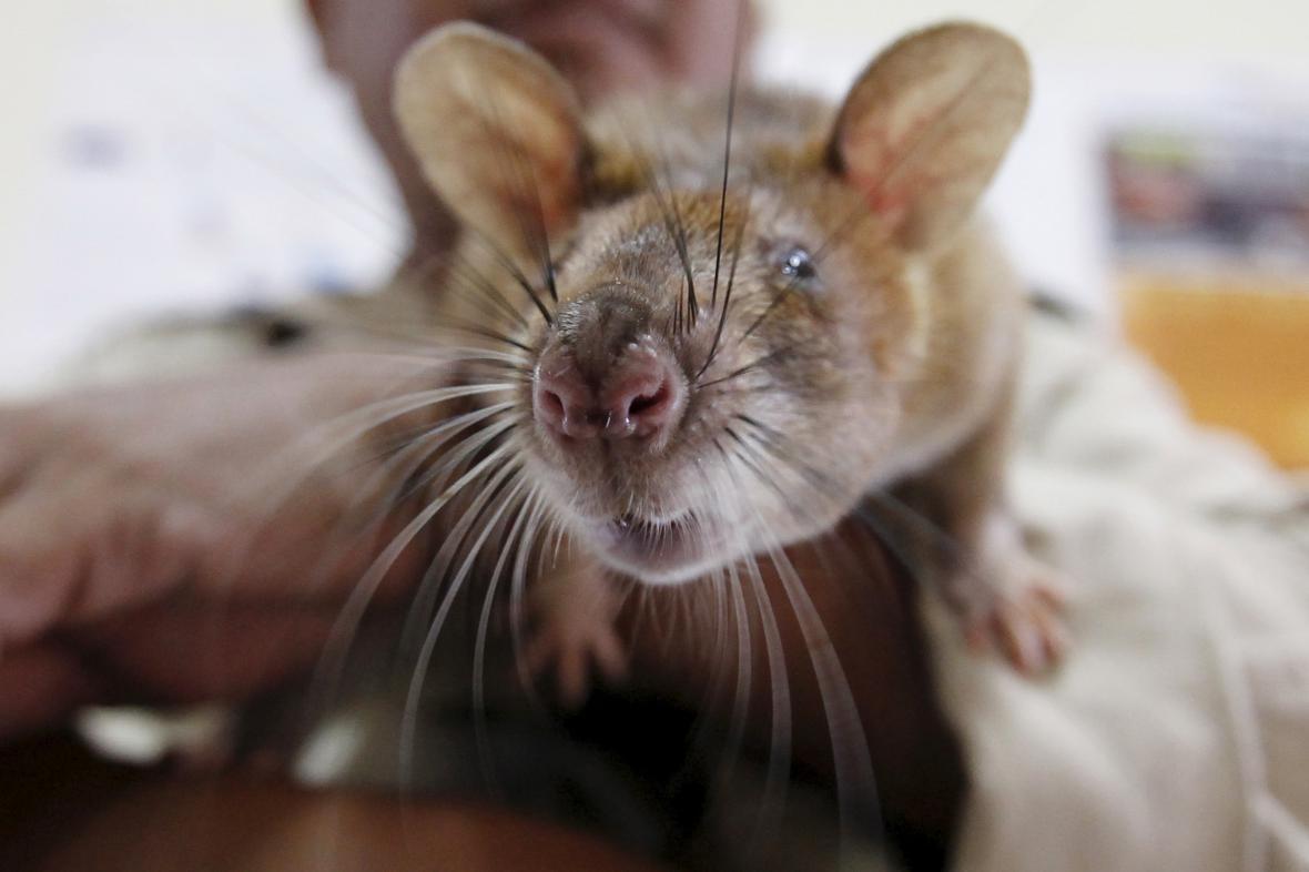 Krysy se osvědčily jako hledačky min