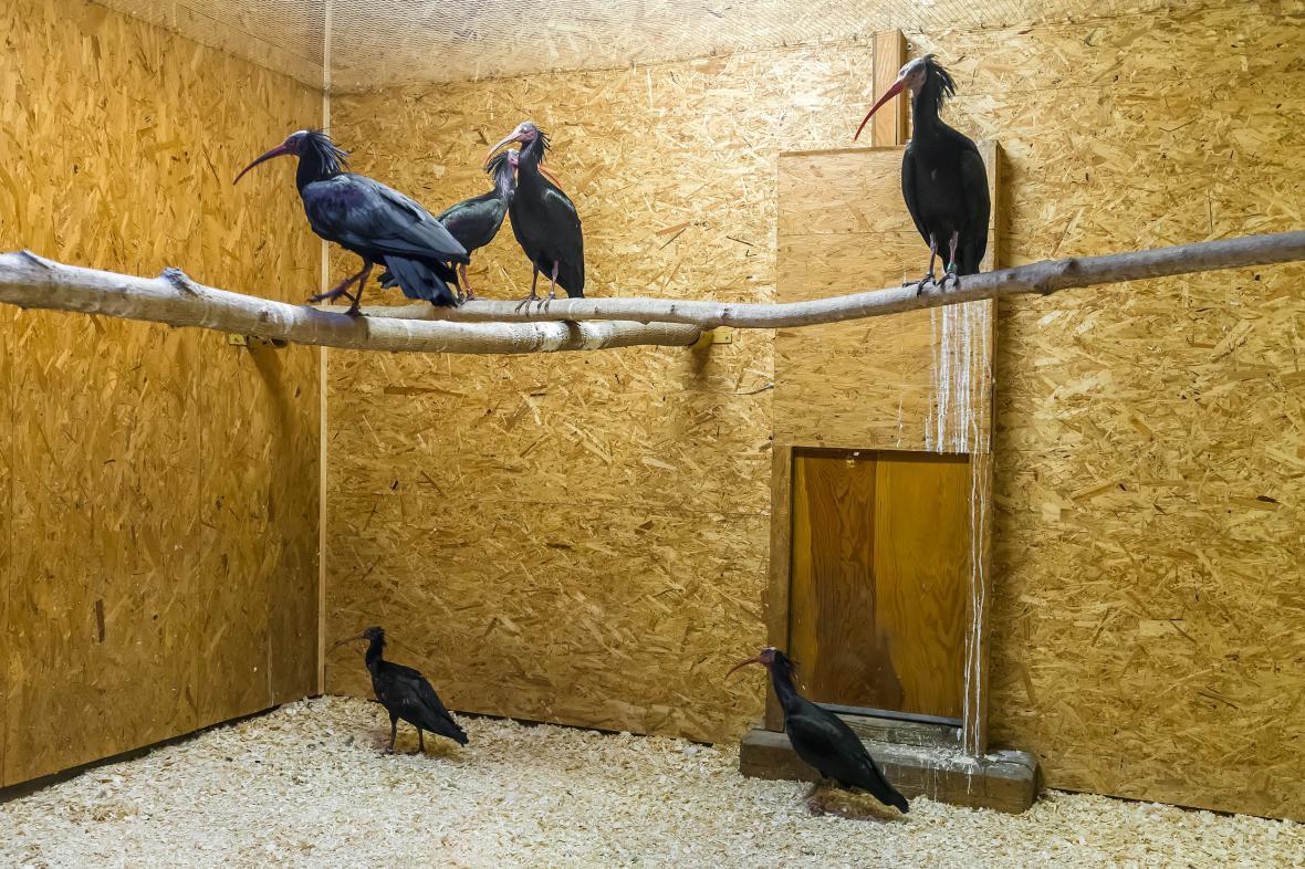 Ibisové, kteří se vrátili do pražské zoo