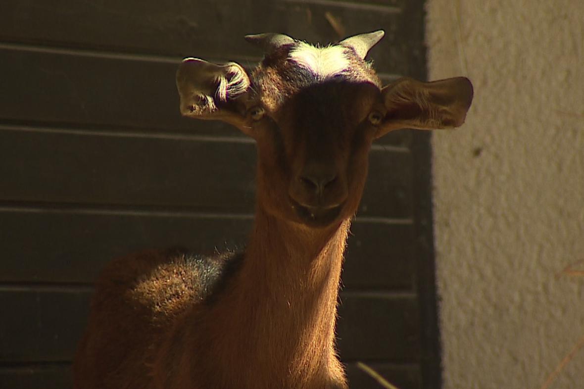Stádo koz vlastní Veřejná zeleň města Brna