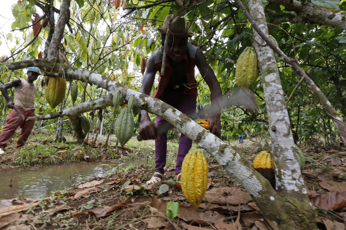 Sklizeň kakaových bobů v Ghaně