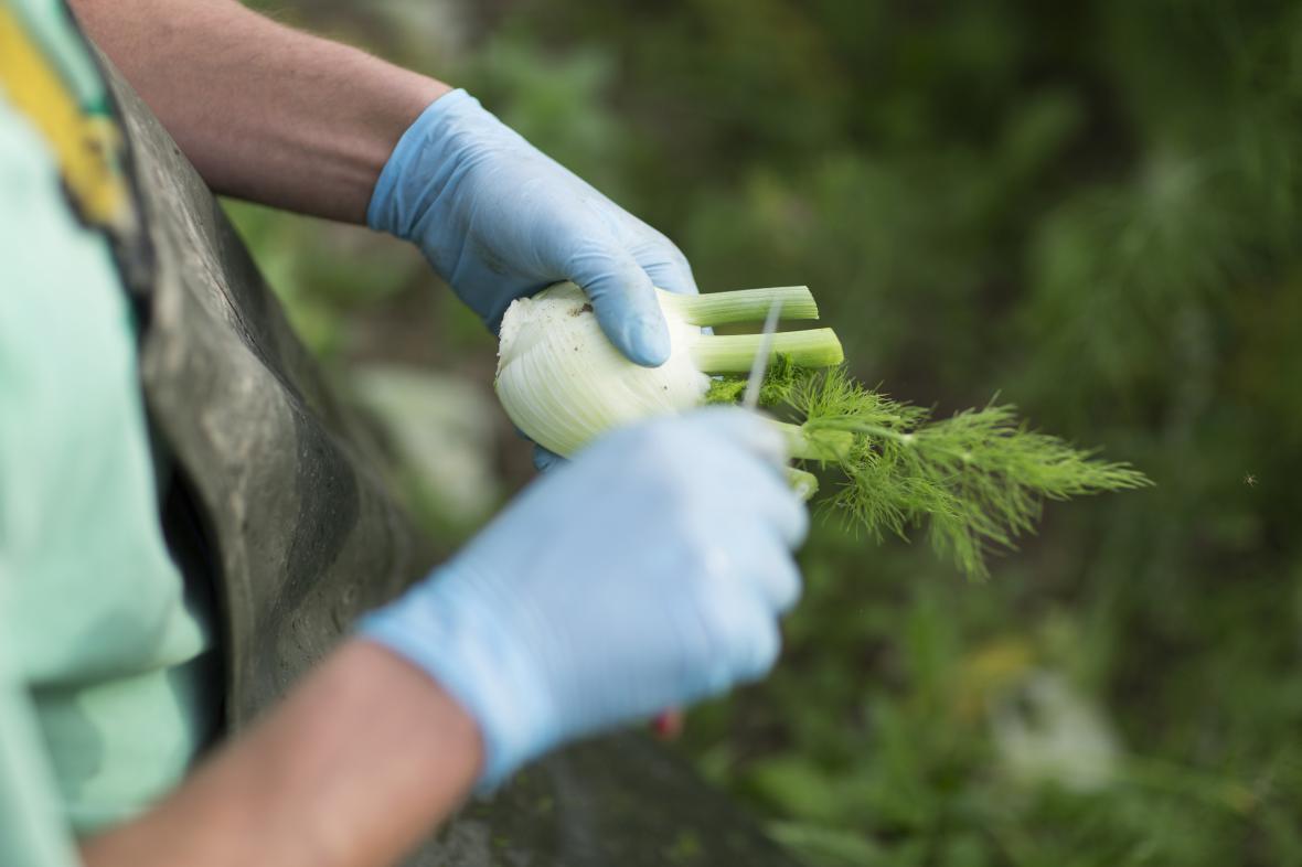 Za pochybení hrozí pěstitelům pokuta i snížení dotace