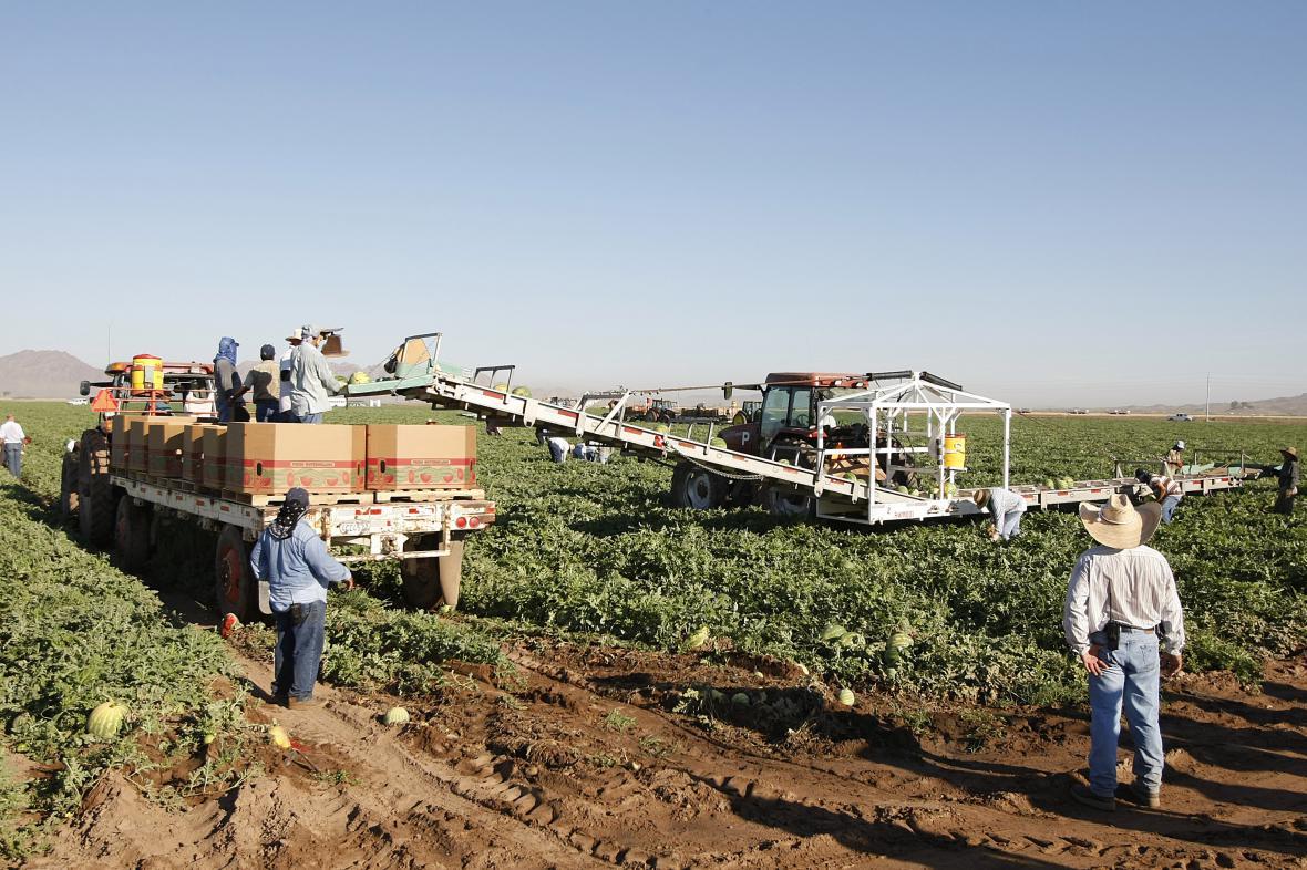 Imigranti z Mexika sklízejí vodní melouny na farmě v Arizoně