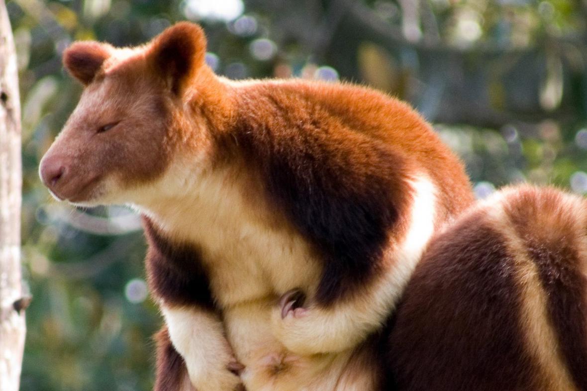Stromový klokan