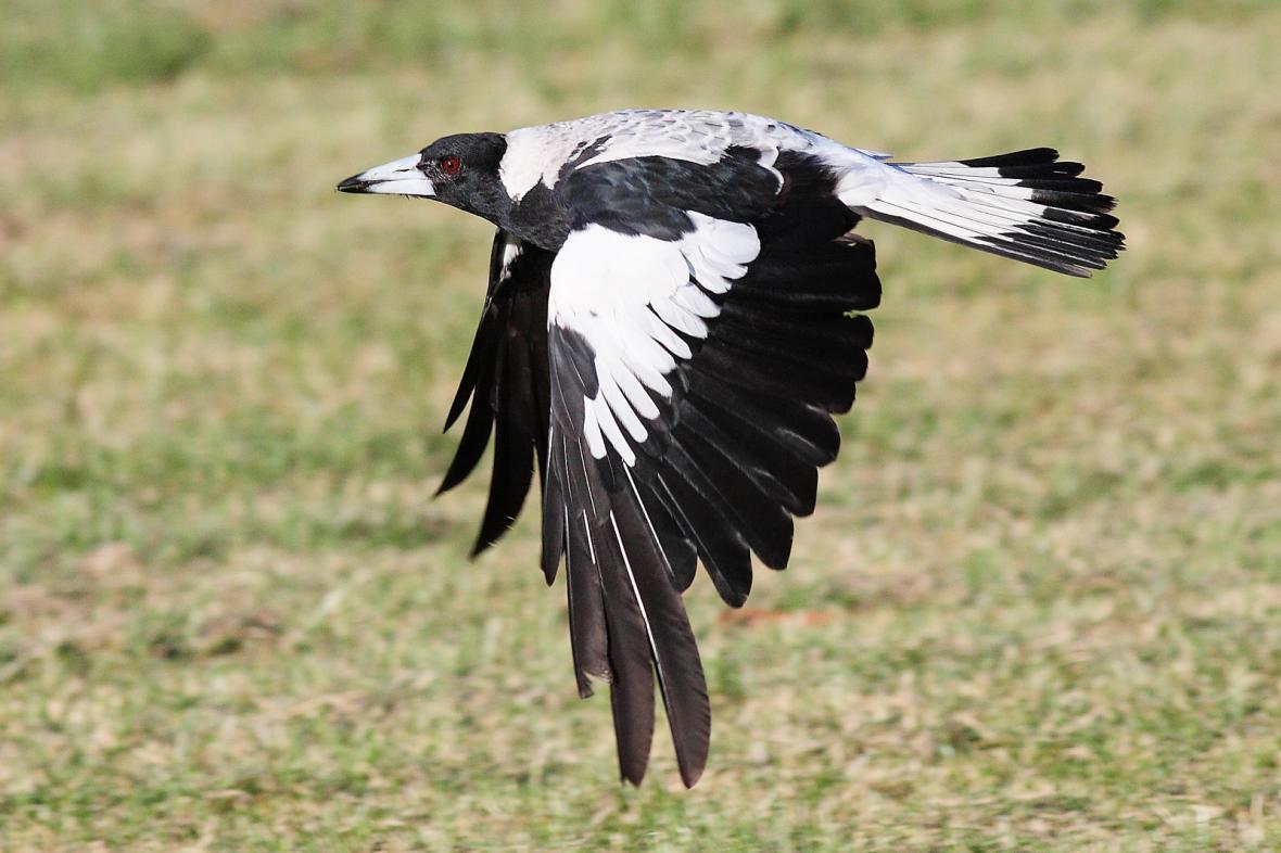 Flétňák australský