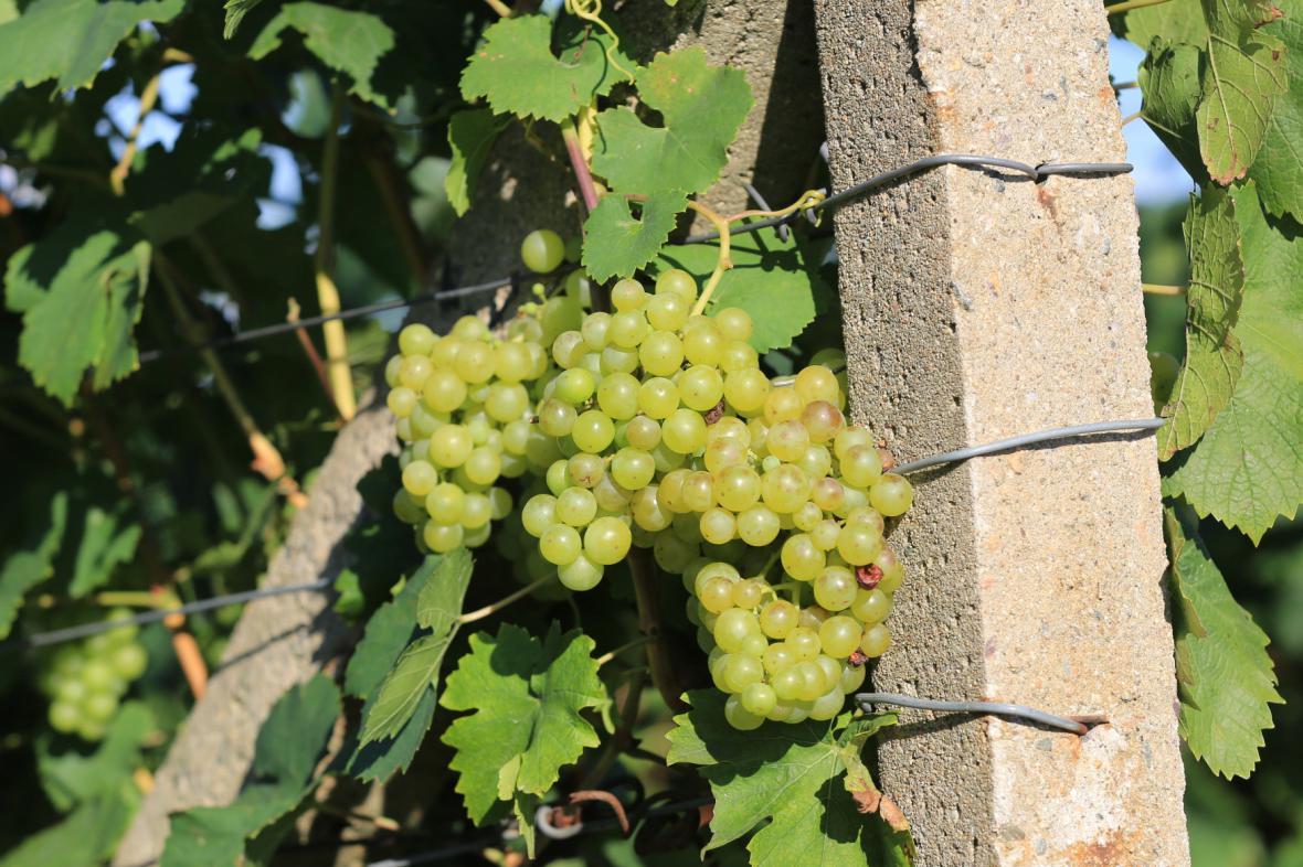 Jednou z oblíbených odrůd zlodějů je Veltlínské zelené