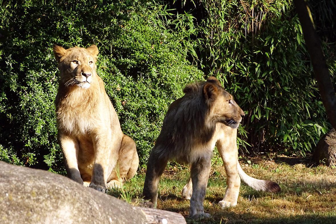 Lipští lvi Majo a Motshegetsi