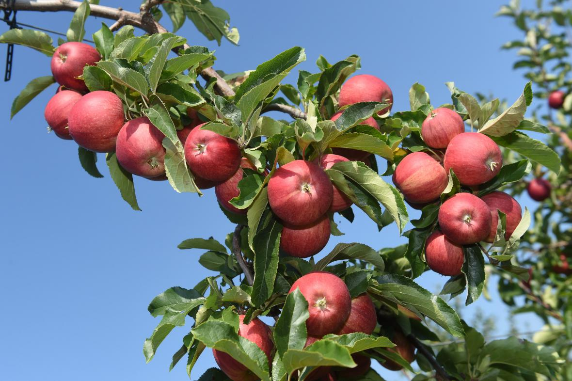 Ovocné sady Vilémov Zemědělského družstva Senice na Hané