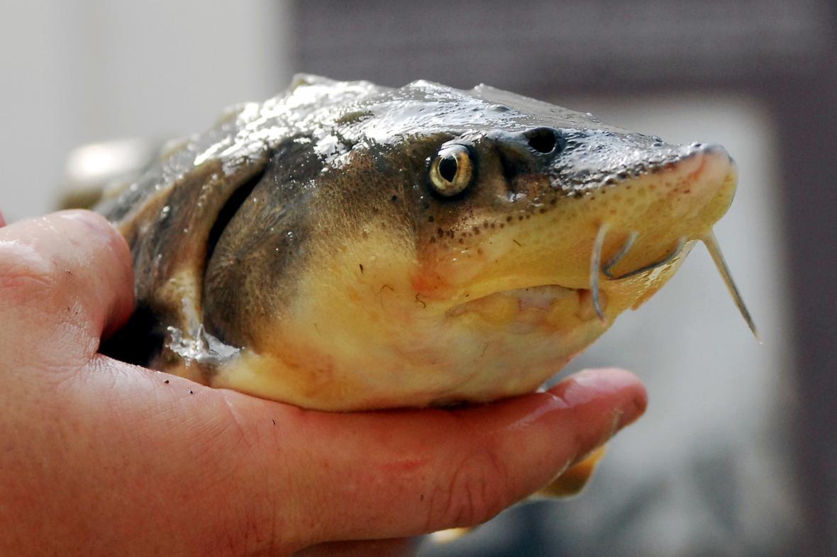 Jeseteři malí v českých vodách dorůstají velikosti až 60 centimetrů