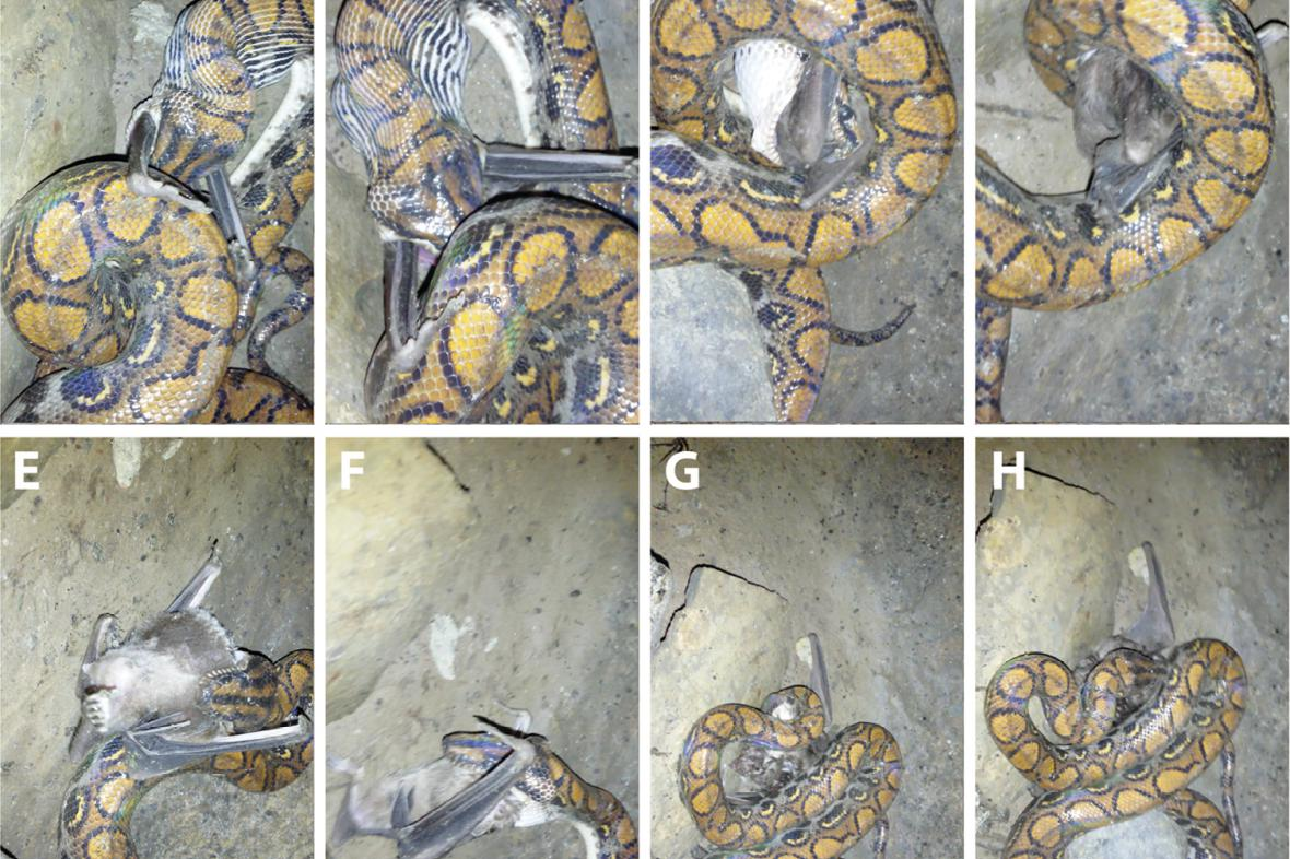 Had polykající upíra