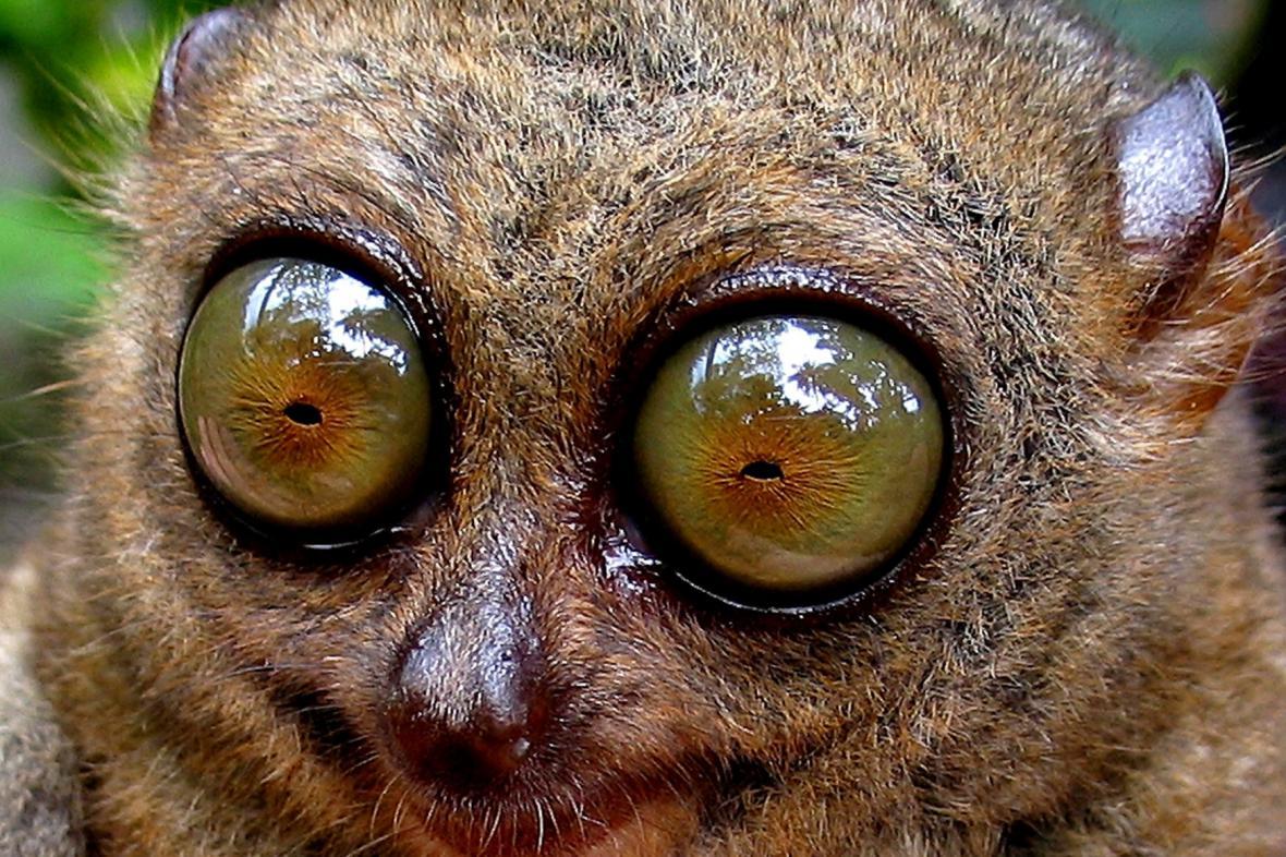 Nártoun má dvakrát větší oči než mozek