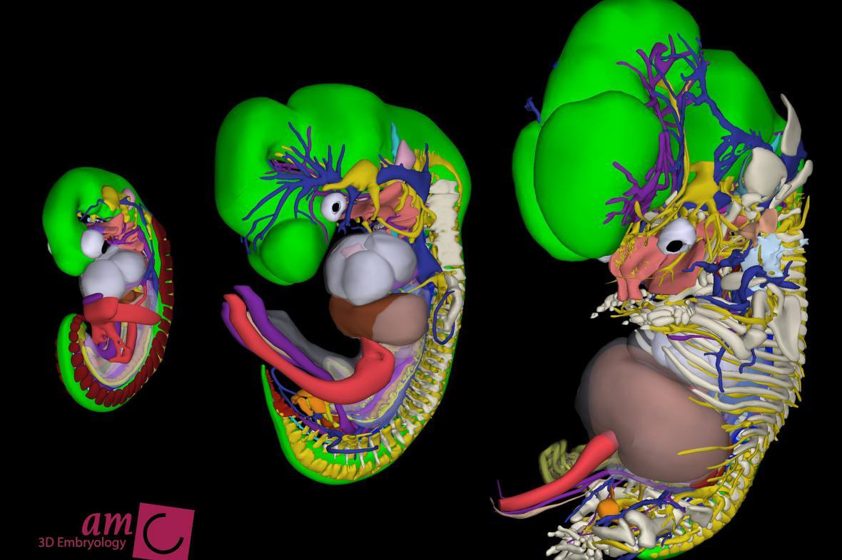 Model embrya