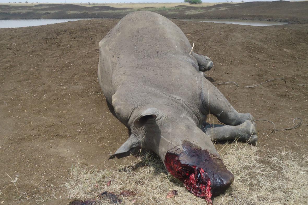 Upytlačený nosorožec v Keni