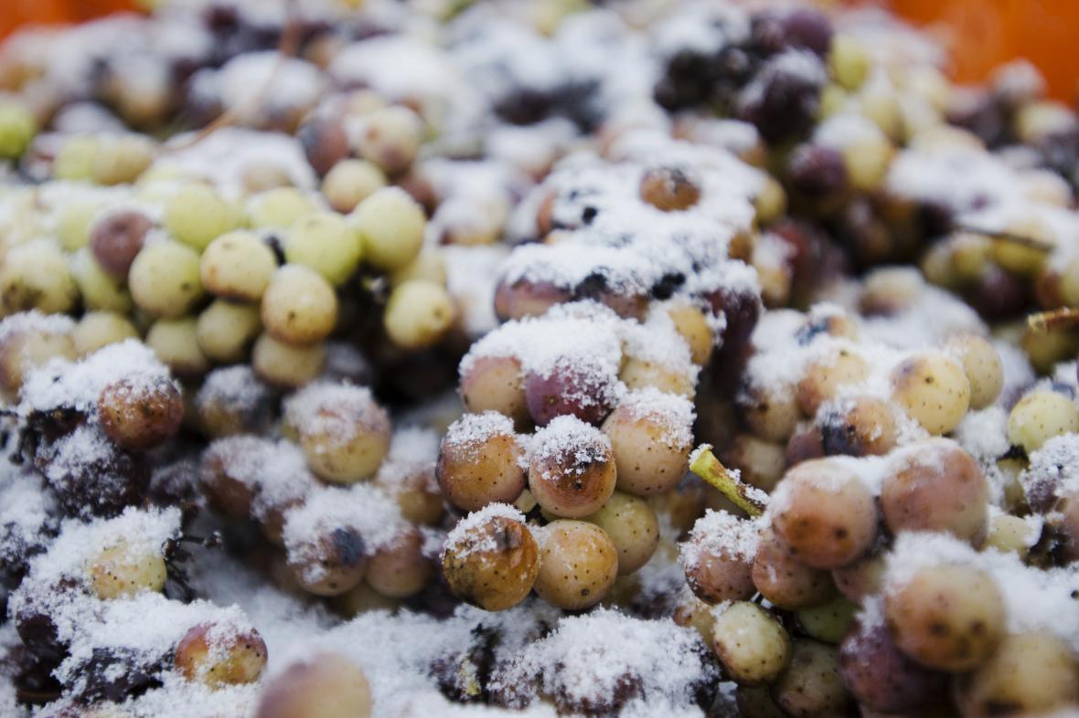 Výroba ledového vína je riskantní záležitostí