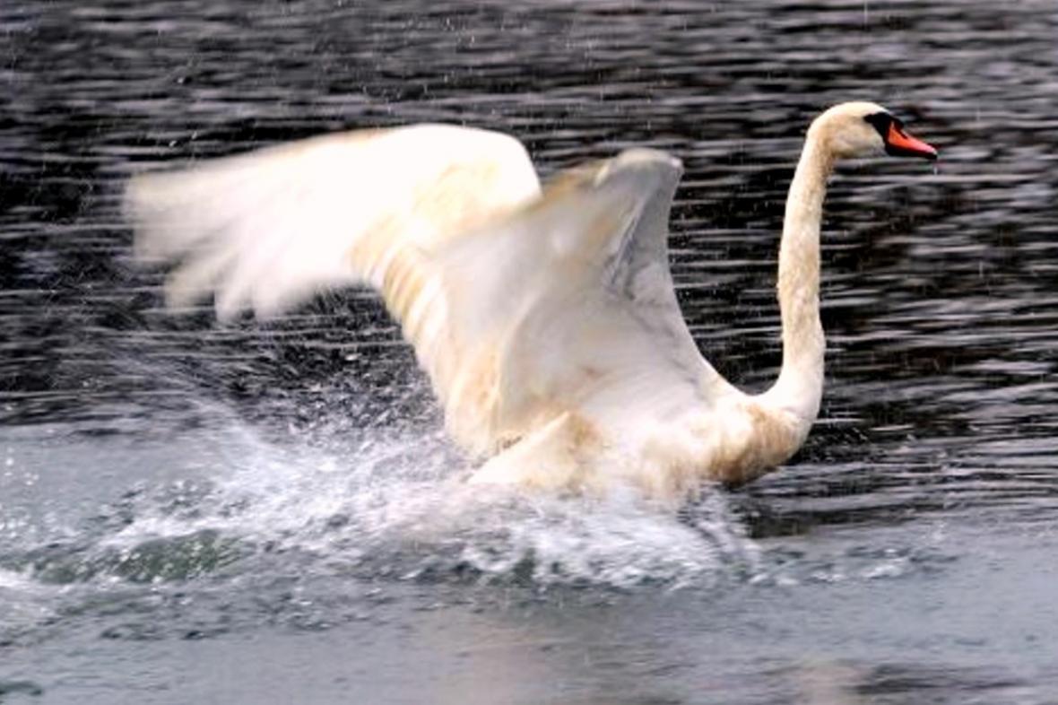 Labuť na rybníku