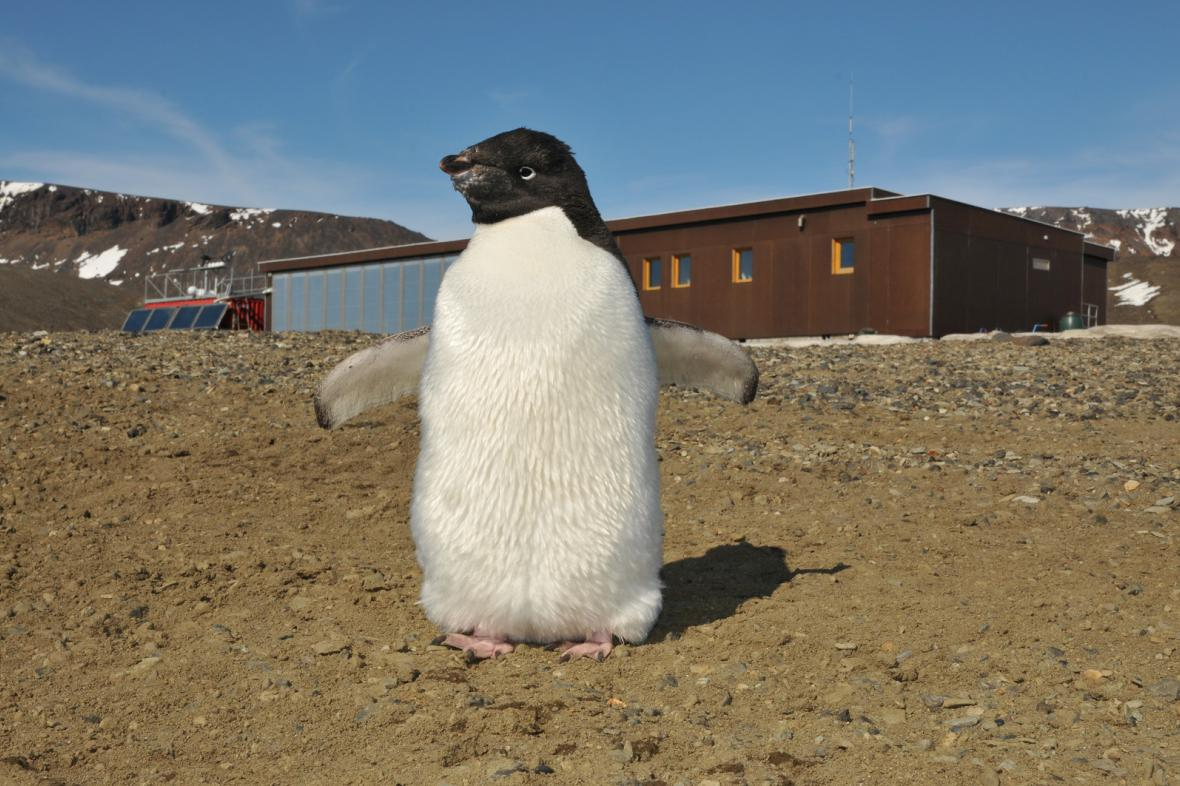 Tučňák u antarktické základny