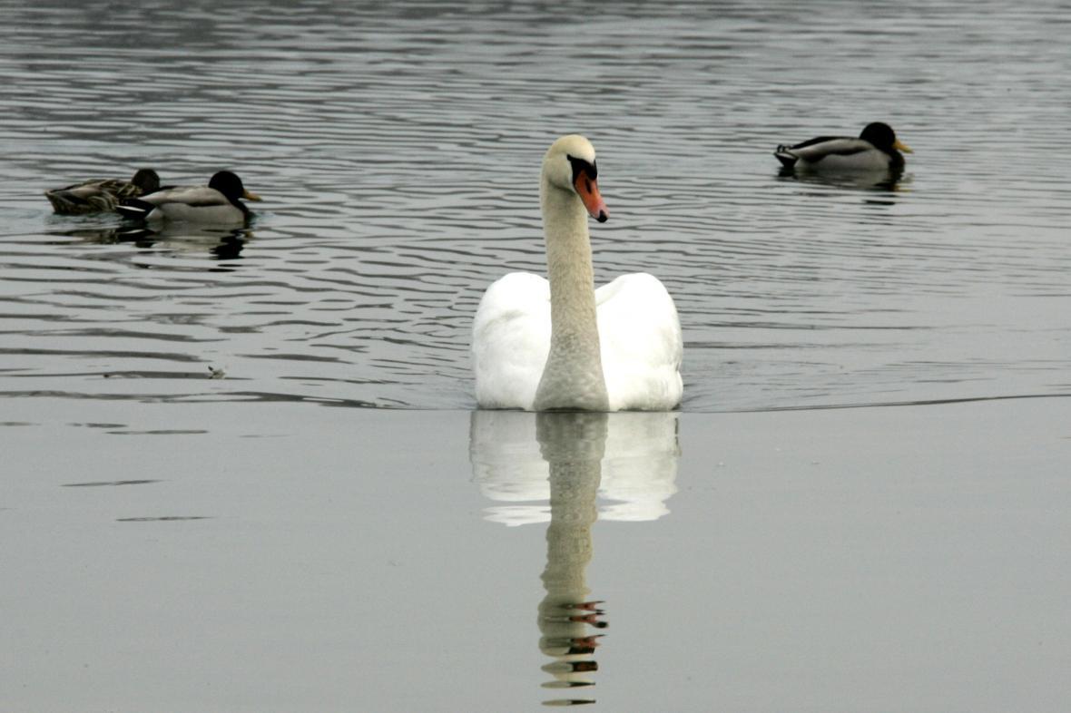Labuť a kachny (Bodensee)