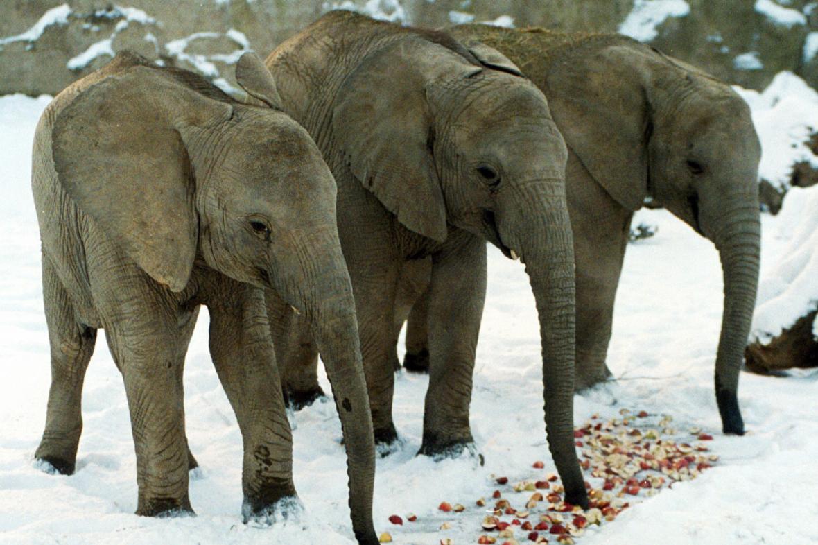 Slonice Kali, Zola a Ulu v Zoo Zlín