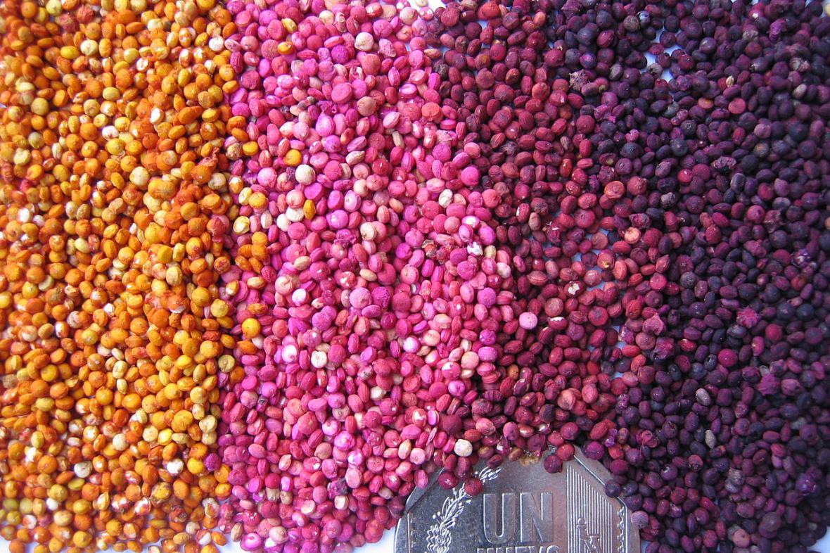 Kvinoa, různobarevná