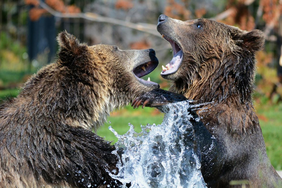 Hnědí medvědi