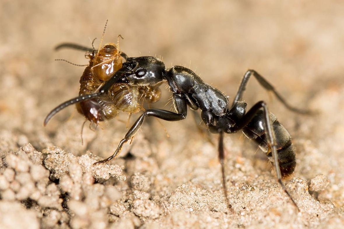 Mravenci Megaponera analis
