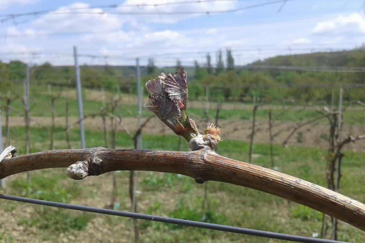 Mrazy poškodily vinice