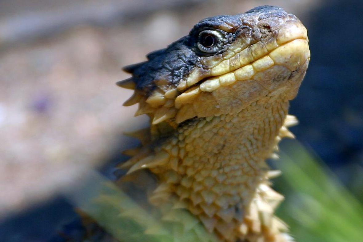 Kruhochvost je miniaturní drak