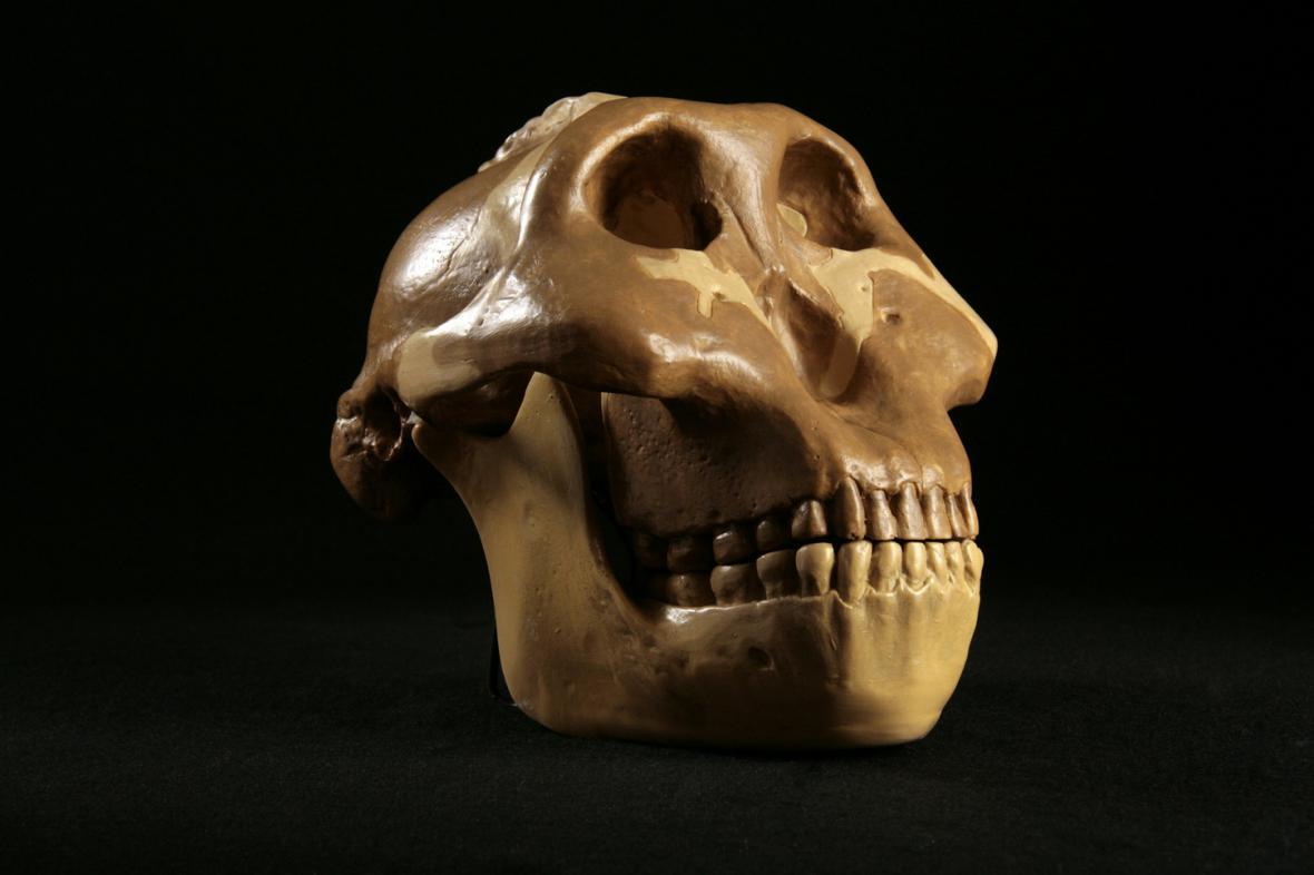 Lebka hominida