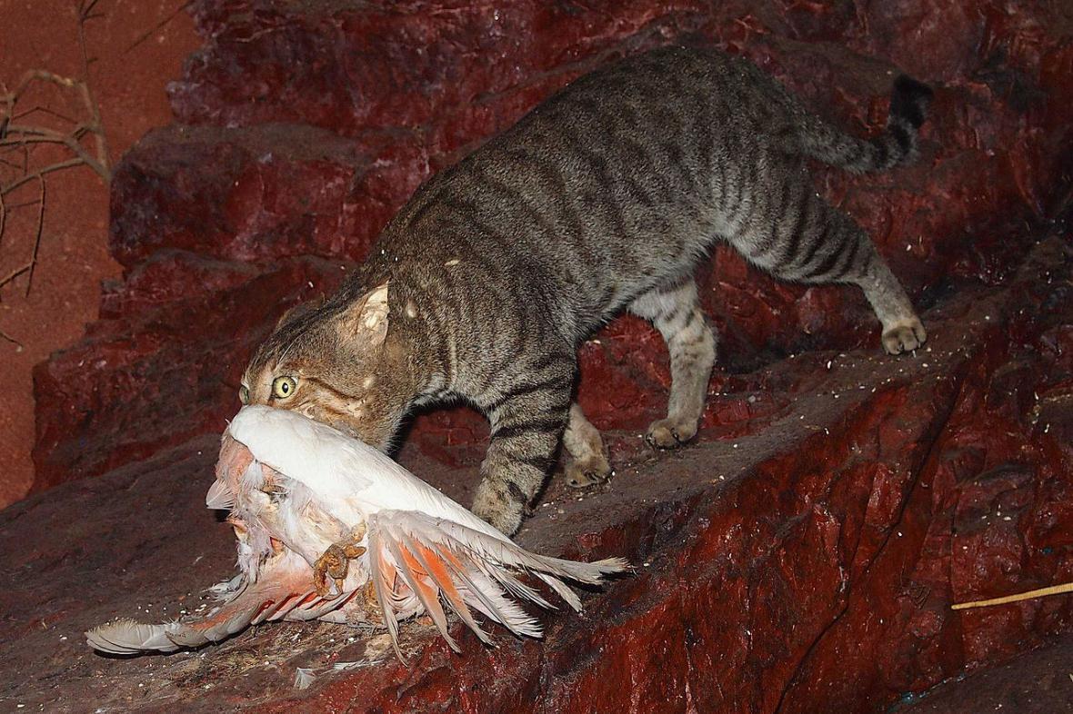 Divoká kočka s uloveným kakaduem