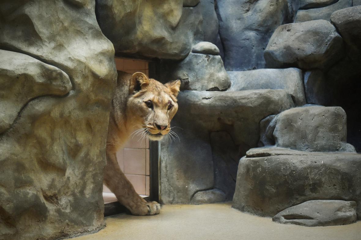 Samice lva berberského Shani, která je v Liberci od ledna.