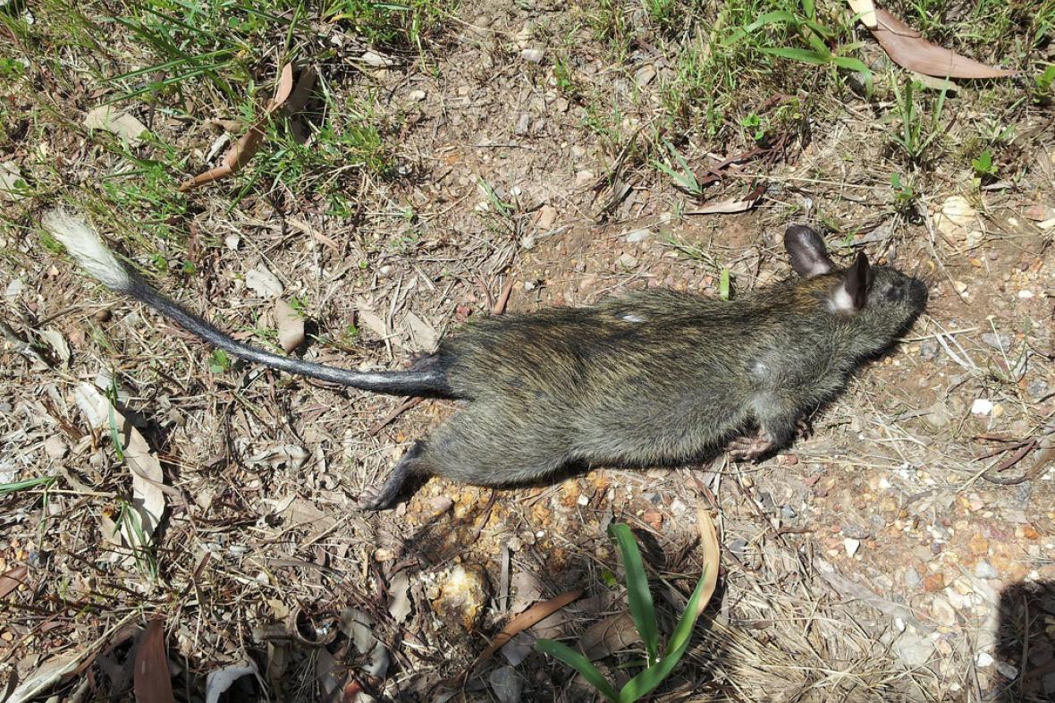 Krysa černonohá