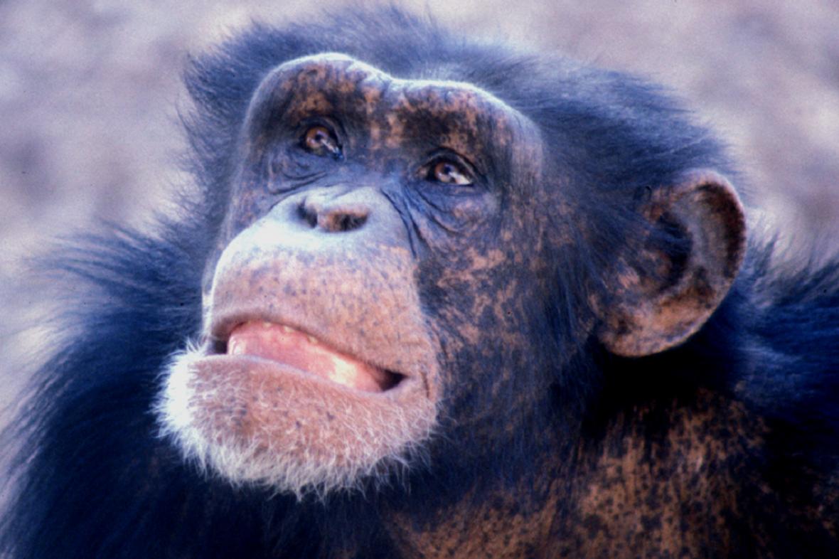 Samec šimpanze