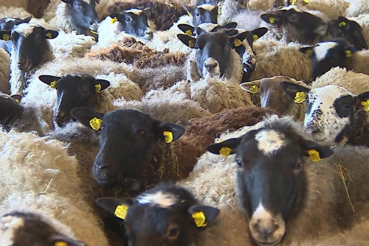 Chov ovcí