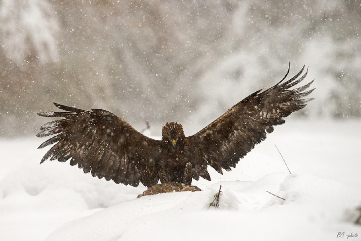 Orel skalní