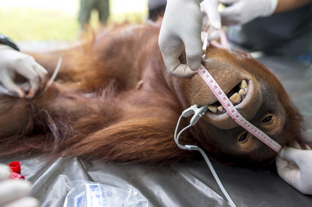 Orangutan zabitý farmáři