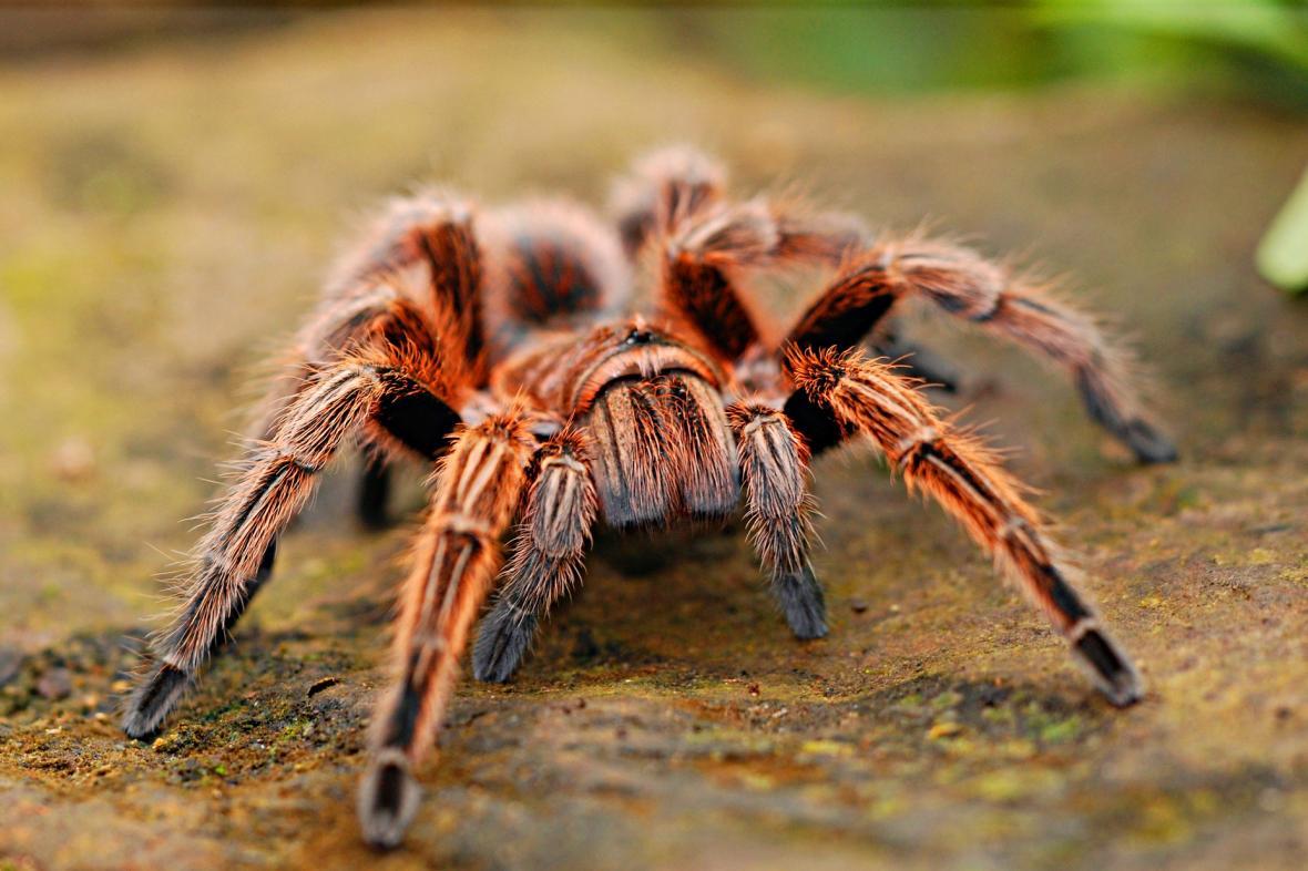 Arachnofobií, tedy strachem z pavouků, trpí asi 3-5 procent lidí