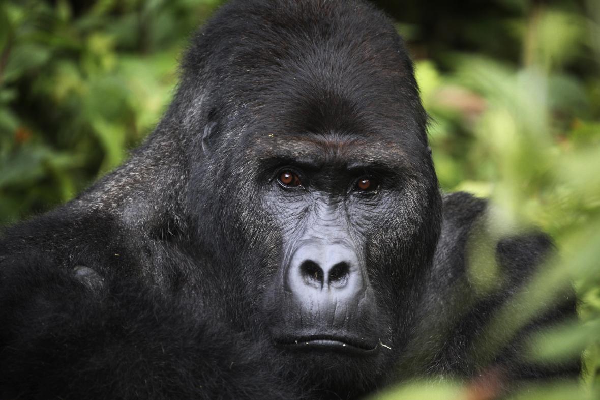 Goril je více, než se čekalo