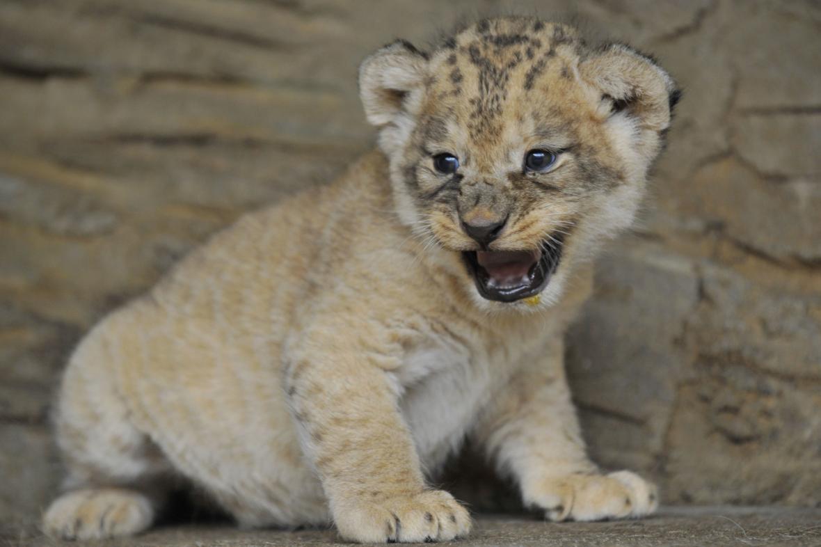 Mládě lva berberského. Ilustrační foto