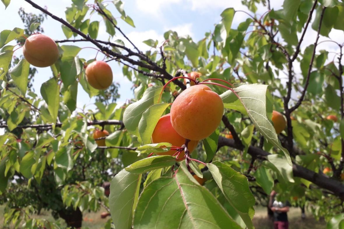 Meruňky ve Velkých Pavlovicích